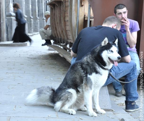 Хаски в Тбилиси